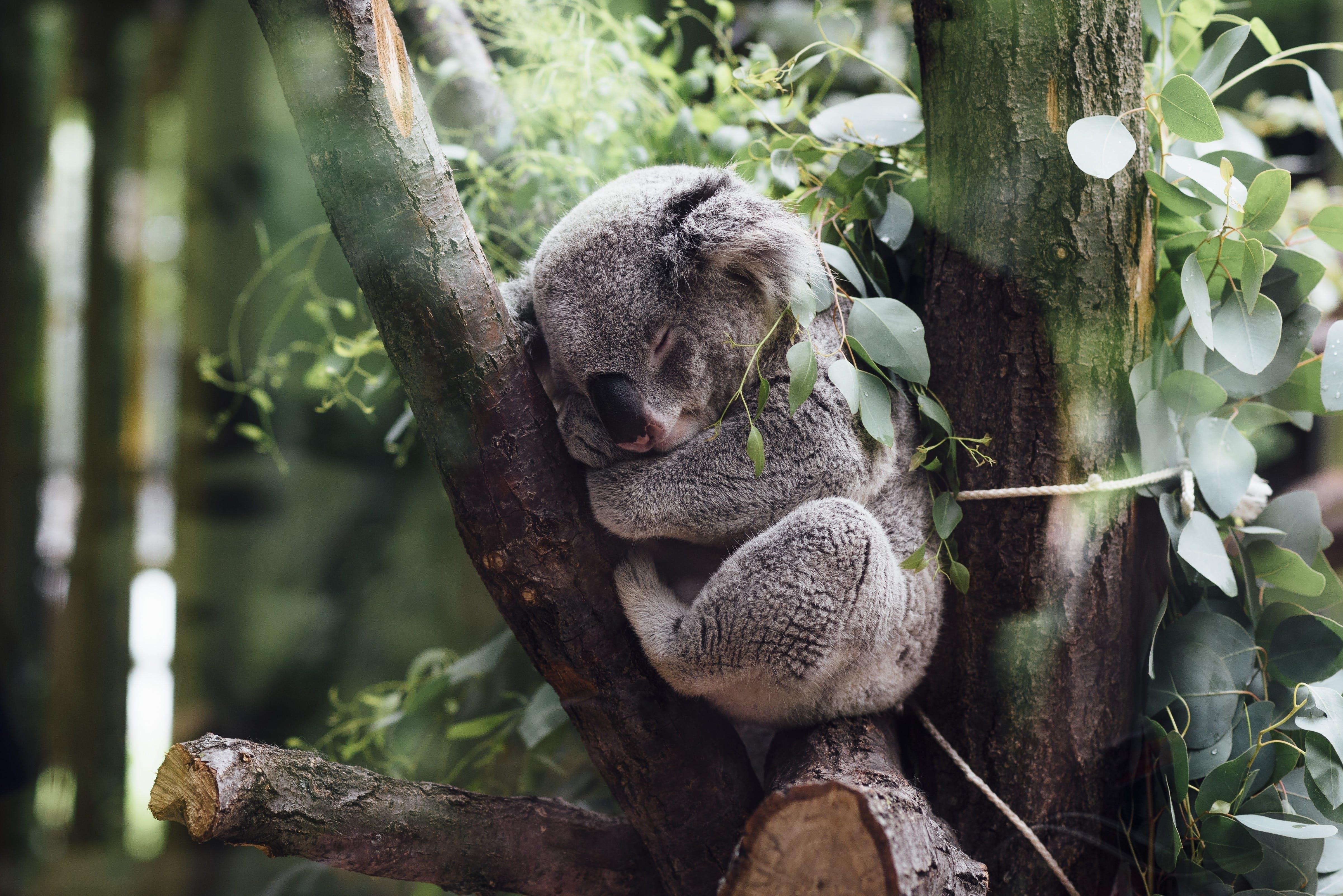Titelbild-Koala-schlafen-Meeting-Marathon-Tiere-2608662-pixabay-StockSnap